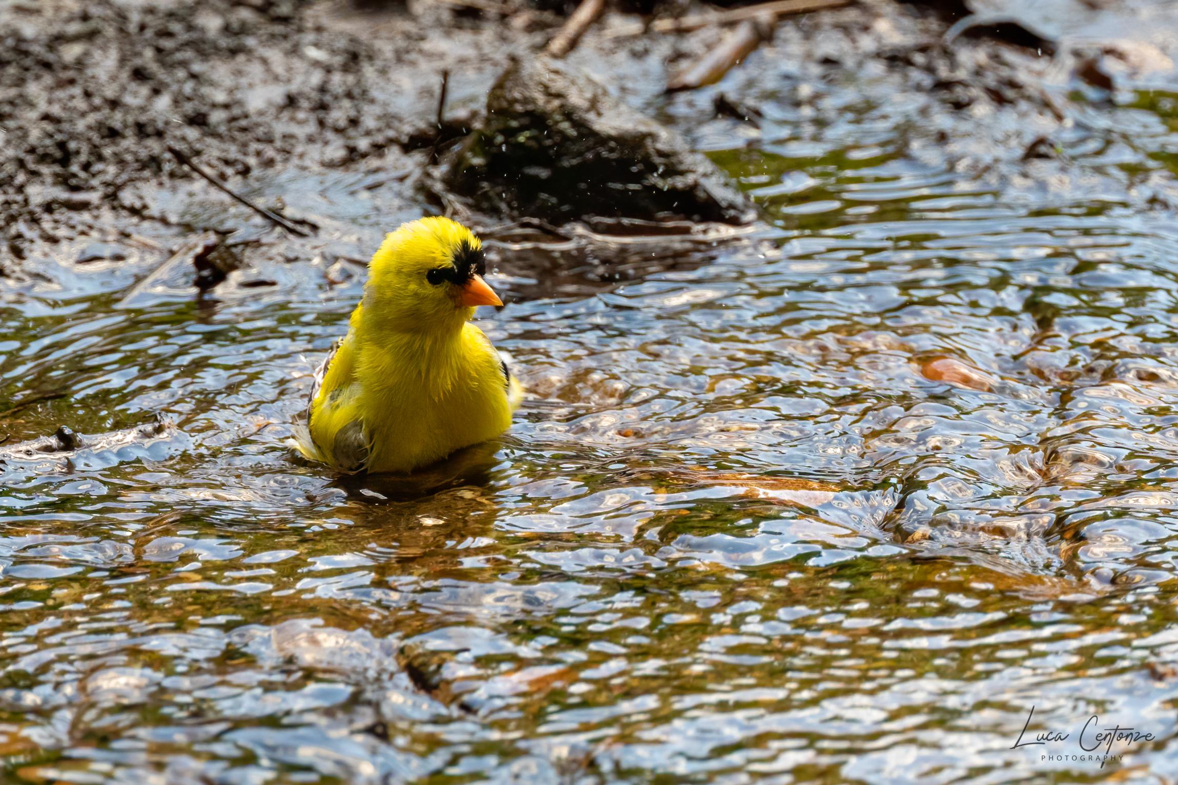 The Gold Finch Bath (American Lucherino)...