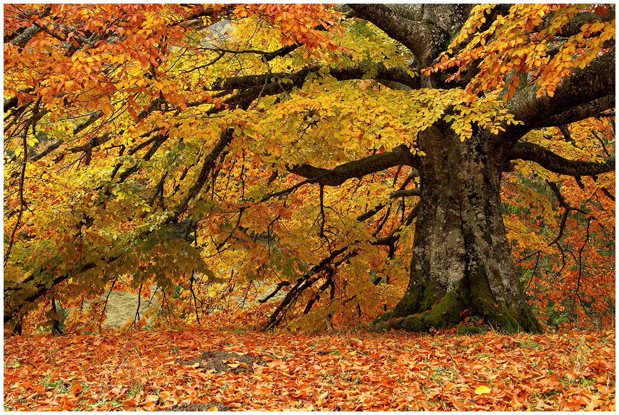 the colors of the beech...