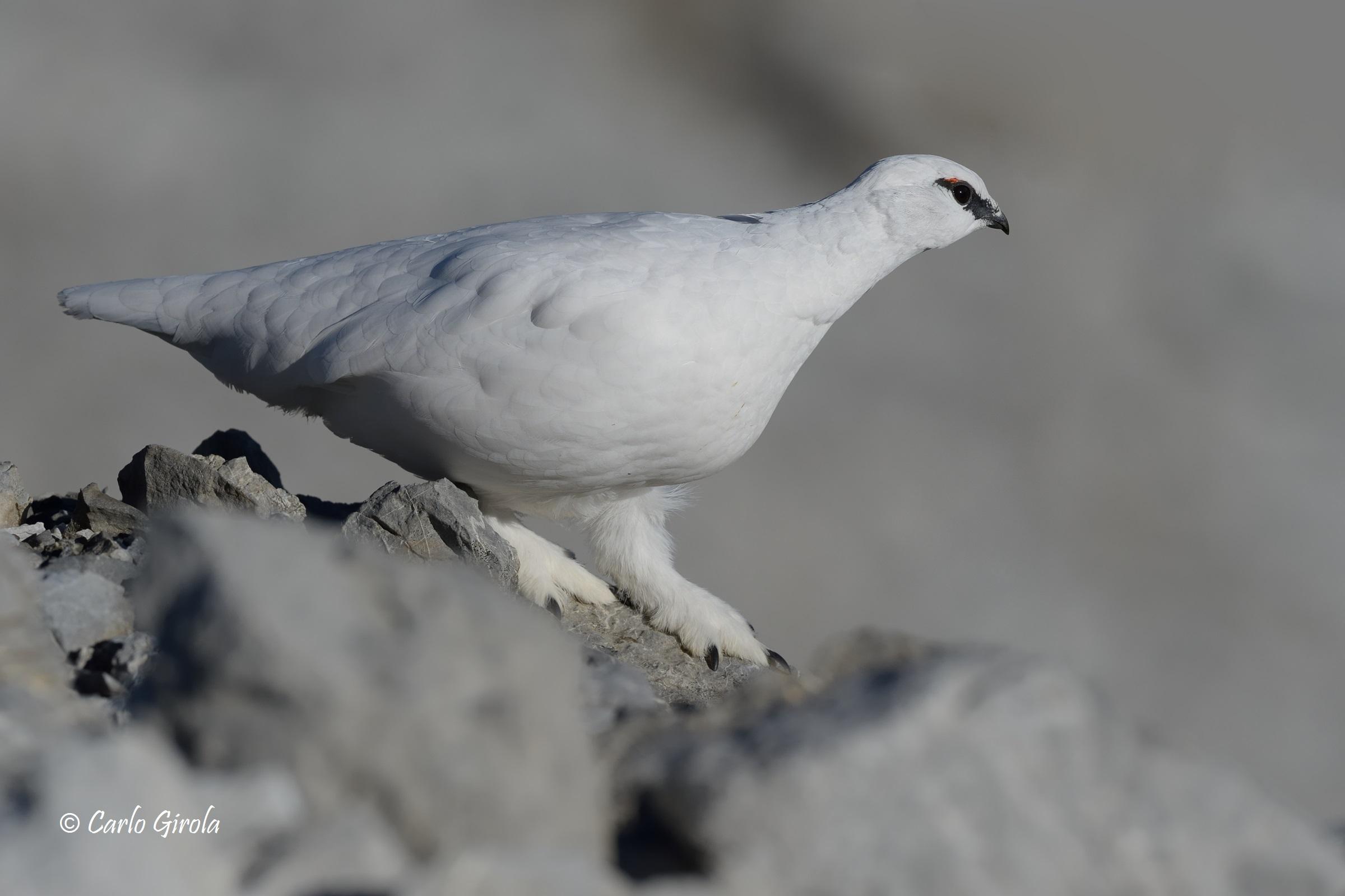 Pernice bianca (Lagopus muta)...