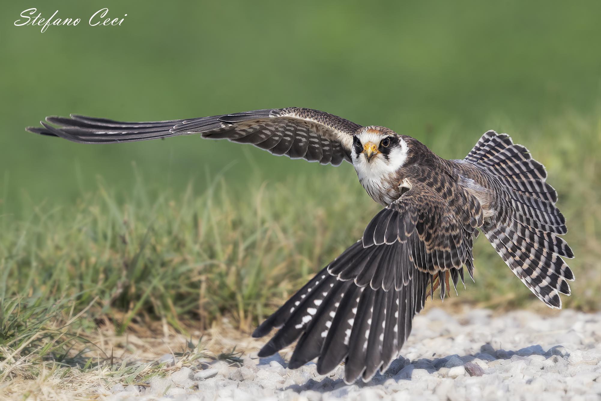 Young Specimen Cuckoo Falcon...