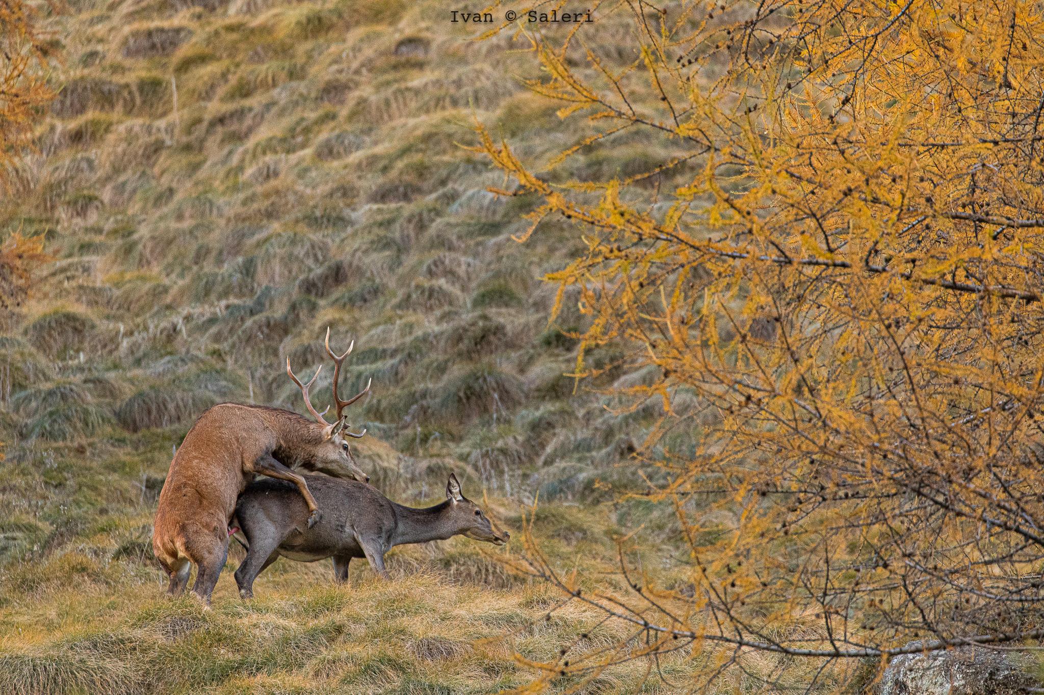 Deer in Love...