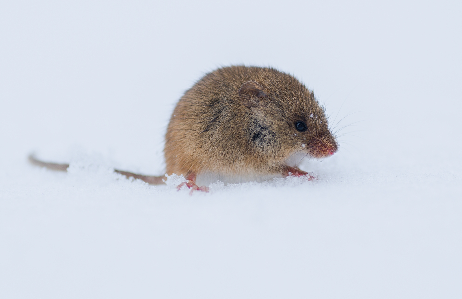 mouse in the snow...