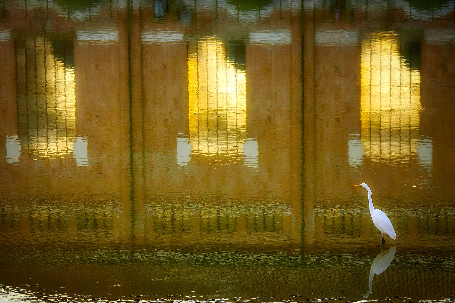 A white heron near sunset...